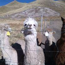 Alpakas auf Pacomarca